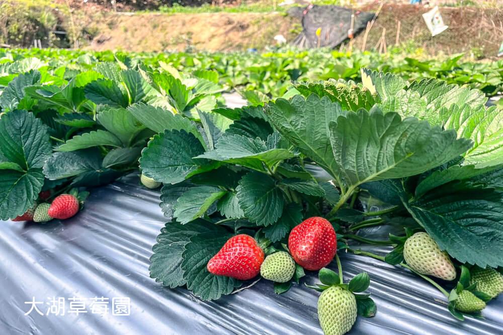 2021大湖草莓採了沒?這間草莓草莓園一定要預約,網路沒什麼人介紹!