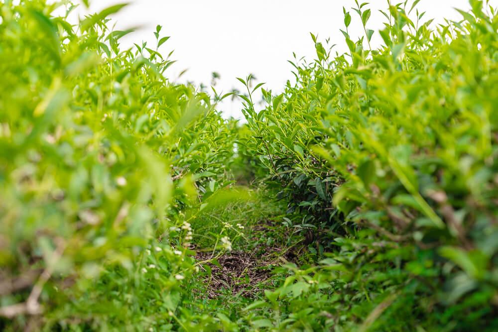 鳳凰單叢有機茶園,鳳凰單叢,鳳凰茶園,名間茶園,名間景點,南投景點
