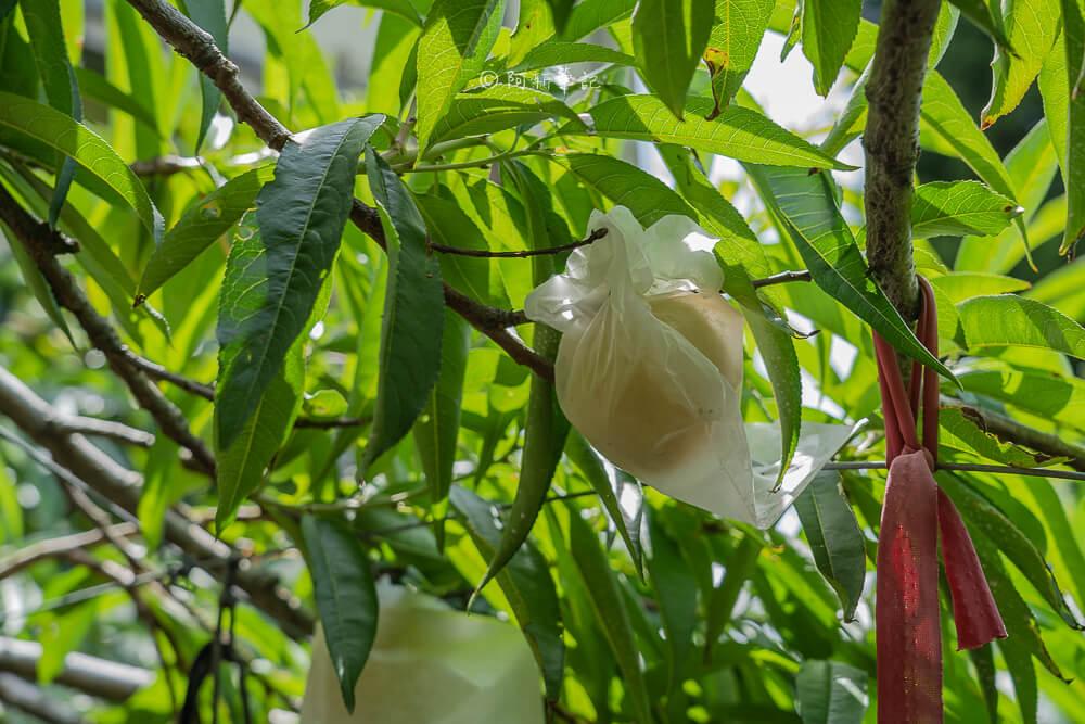 周家農場,拉拉山周家農場,拉拉山採果,拉拉山農場,拉拉山水蜜桃,桃園旅遊,桃園景點