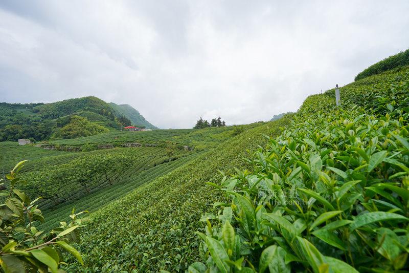 林園製茶-04