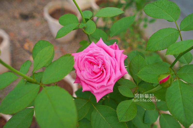 蘿莎玫瑰莊園-35