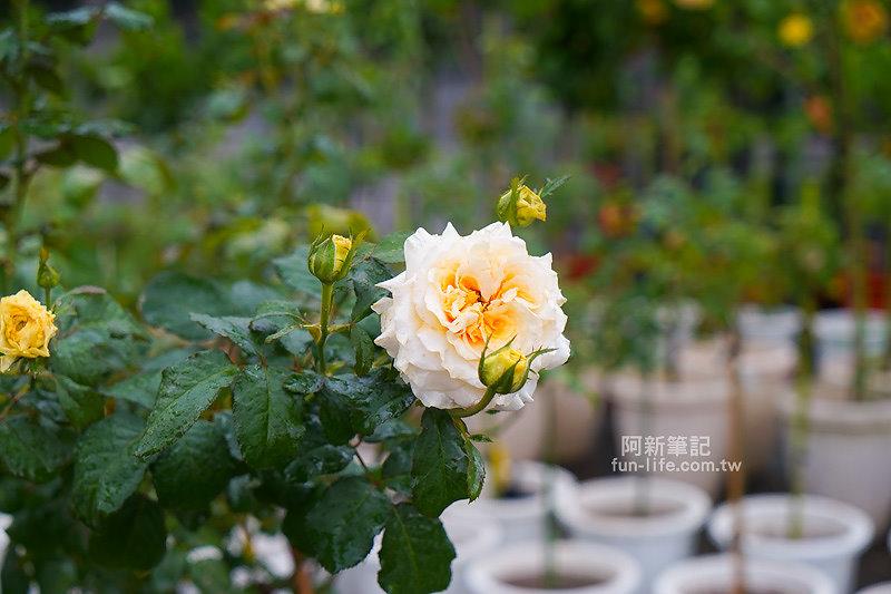 蘿莎玫瑰莊園-27