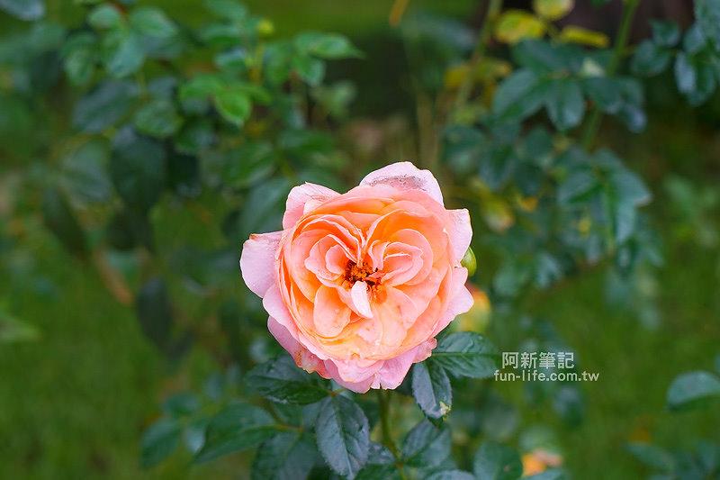 蘿莎玫瑰莊園-29
