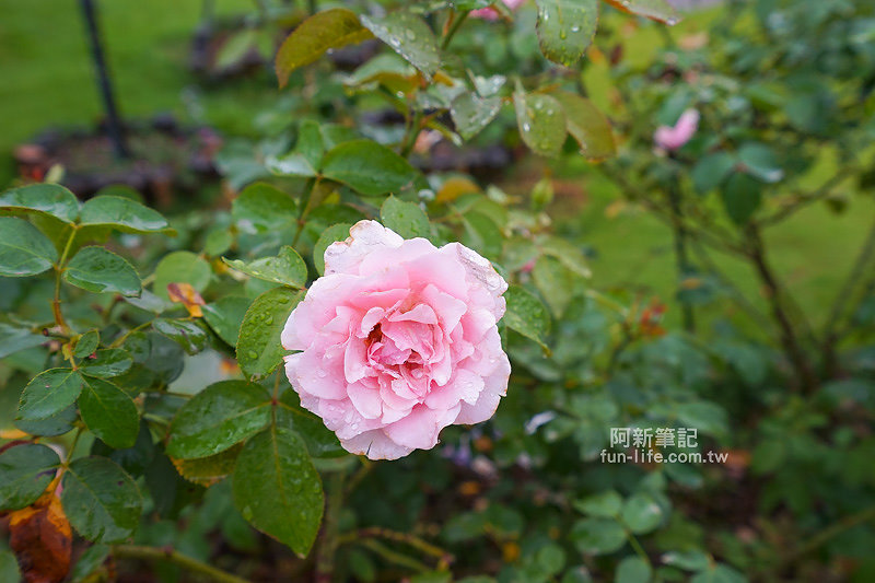 蘿莎玫瑰莊園-12