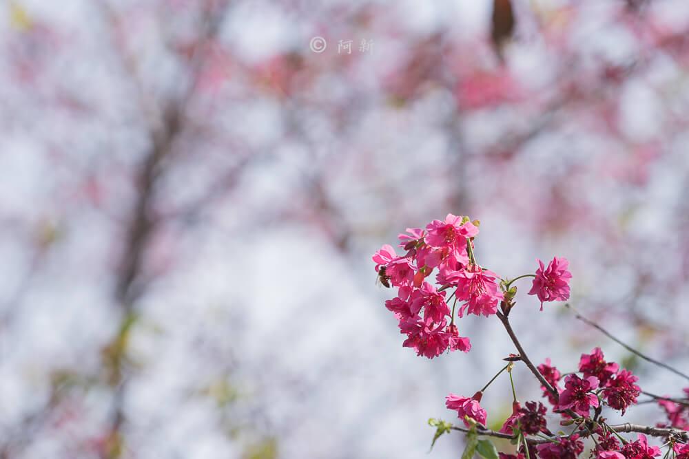 台中新社櫻花-13